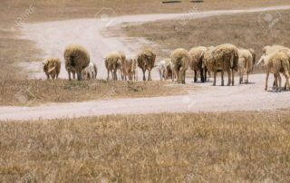 Dirty sheeps in the drought meadow